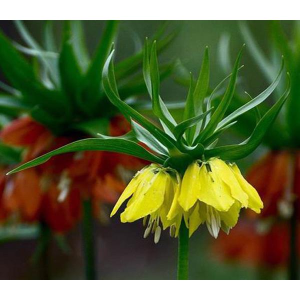 หัวดอกมงกุฏจักรพรรดิ์ (Crown Imperial) มี 2 สีให้เลือก
